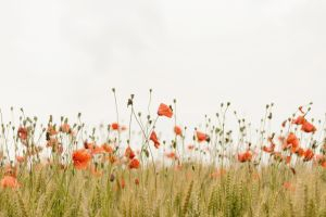 Poppies IV